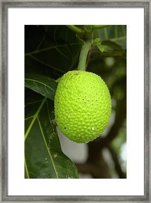 Jackfruit (artocarpus Heterophyllus Framed Print by David Wall