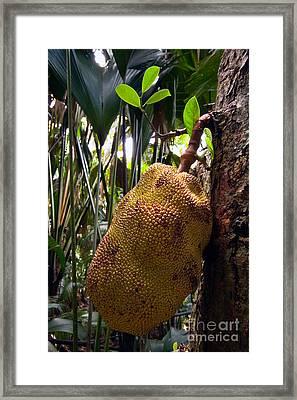 Jackfruit Framed Print by Tim Holt