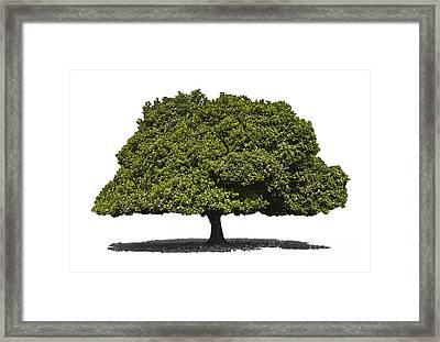 Jackfruit Tree Isolated Framed Print by Image World