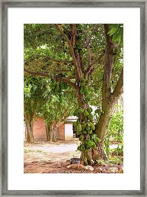 Jackfruit Tree With Fruit Growing Framed Print by Ktsdesign