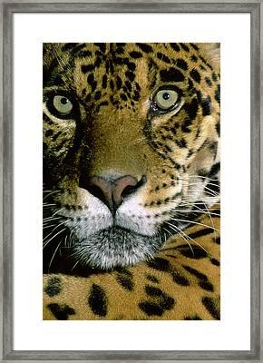 Jaguar Face (panthera Onca Framed Print by Andres Morya Hinojosa
