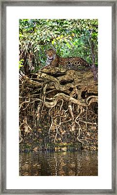 Jaguar Panthera Onca Resting Framed Print by Panoramic Images