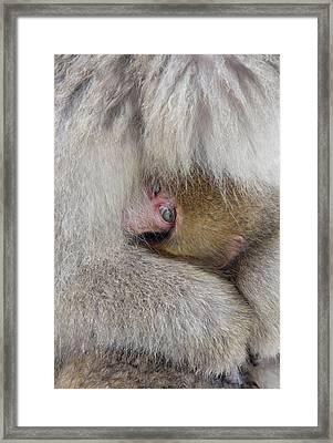 Japan, Jigokudani, Snow Monkey Baby Framed Print by Jaynes Gallery