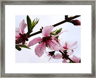 Japanese Cherry Tree Framed Print by Camille Lopez