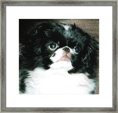 Japanese Chin Puppy Portrait Framed Print by Jim Fitzpatrick