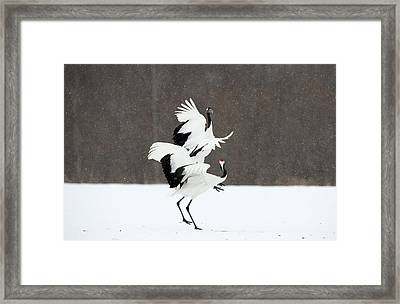 Japanese Cranes Displaying Framed Print by Dr P. Marazzi