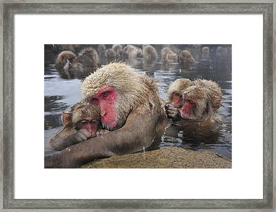 Japanese Macaque Grooming Mother Framed Print by Thomas Marent