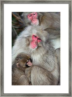 Japanese Macaque Monkey Suckling Baby Framed Print by Paul D Stewart