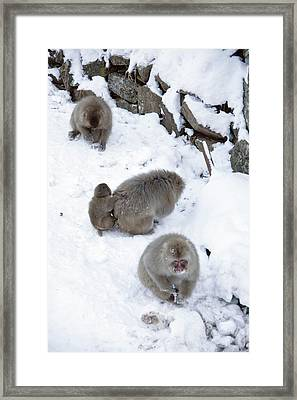 Japanese Macaques Foraging Framed Print by Andy Crump