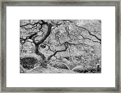 Japanese Maple Black And White Framed Print by Mark Kiver