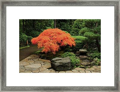 Japanese Maple In Autumn, Portland Framed Print by Michel Hersen