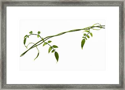 Jasmine Leaves Pattern  Framed Print by Tim Gainey