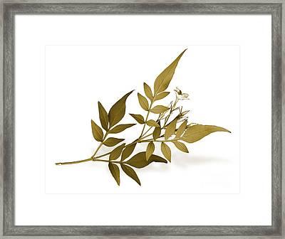 Jasminium Framed Print by Janet Burdon