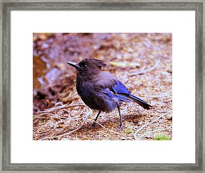 Jay  Framed Print by Jeff Swan