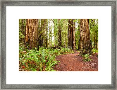 Jedediah Trail - Massive Giant Redwoods Sequoia Sempervirens In Redwoods National Park. Framed Print by Jamie Pham
