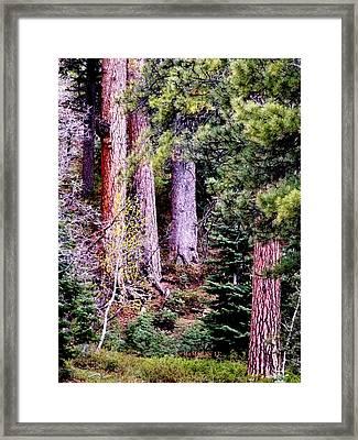 Jeffrey Pine Framed Print by Deborah Moen