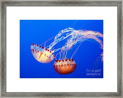 Jelly Dance - Large Jellyfish Atlantic Sea Nettle Chrysaora Quinquecirrha. Framed Print by Jamie Pham