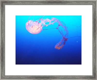 Jelly Fish  Framed Print by John Morris