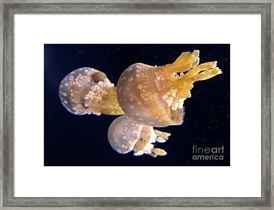 Jellyfish 8 Framed Print by Bob Christopher