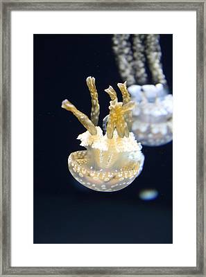 Jellyfish - National Aquarium In Baltimore Md - 121211 Framed Print by DC Photographer