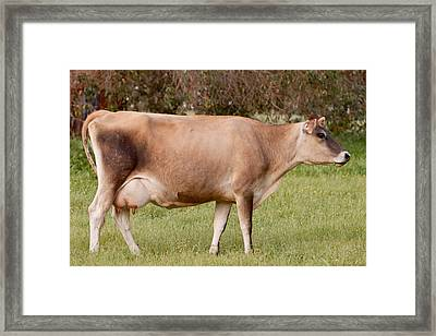 Jersey Cow In Pasture Framed Print by Michelle Wrighton