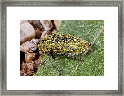 Jewel Beetle On A Leaf Framed Print by Bob Gibbons