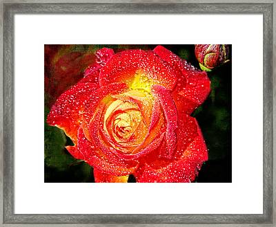 Joyful Rose Framed Print by Mariola Bitner