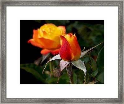 Judy Garland Rose Framed Print by Rona Black