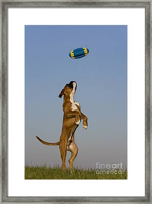 Jumping Boxer Puppy Framed Print by Jean-Louis Klein and Marie-Luce Hubert
