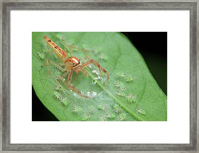 Jumping Spider And Babies Framed Print by Melvyn Yeo
