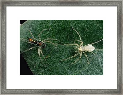 Jumping Spider Colorful Male And Pale Framed Print by Mark Moffett