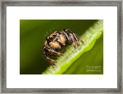 Jumping Spider Phidippus Clarus I Framed Print by Clarence Holmes