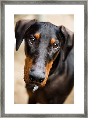 Just A Doberman Framed Print by Eti Reid