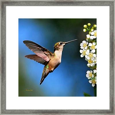 Just Looking Hummingbird Square Framed Print by Christina Rollo