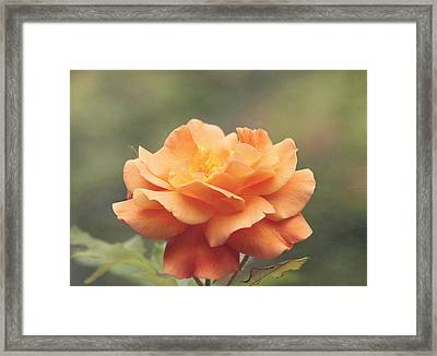 Just Peachy - Rose Framed Print by Kim Hojnacki