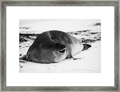 juvenile 2 year old elephant seal calling hannah point livingstone island Antarctica Framed Print by Joe Fox
