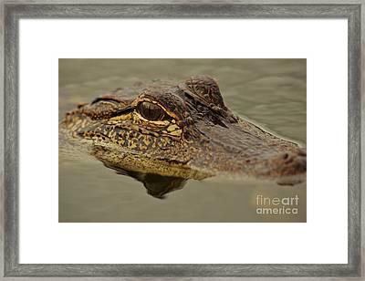 Juvenile Alligator Framed Print by Lynda Dawson-Youngclaus