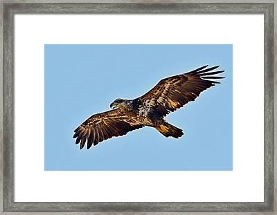 Juvenile Bald Eagle In Flight Close Up Framed Print by Jeff at JSJ Photography