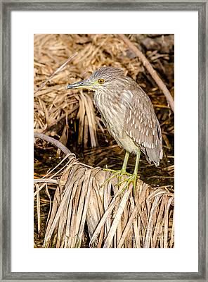 Juvenile Black Crowned Night Heron Framed Print by Debra Martz