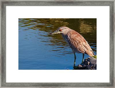 Juvenile Black-crowned Night-heron Fishing Framed Print by Kathleen Bishop