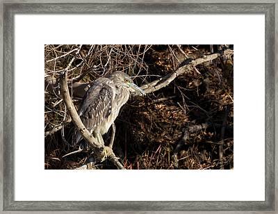 Juvenile Black-crowned Night Heron Framed Print by Kathleen Bishop