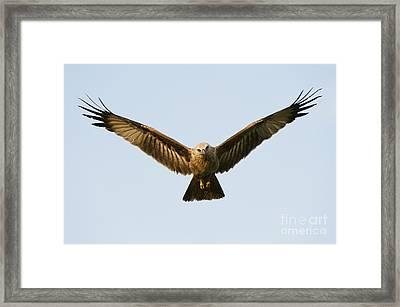 Juvenile Brahminy Kite Hovering Framed Print by Tim Gainey