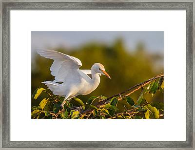 Juvenile Cattle Egret Framed Print by Andres Leon