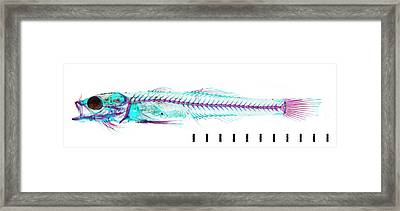 Juvenile Goby Framed Print by Natural History Museum, London