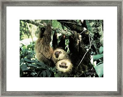 Juvenile Hoffmanns Two-toed Sloths Framed Print by Gregory G. Dimijian, M.D.