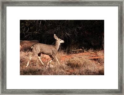 Juvenile Mule Deer Running In Boynton Framed Print by Jan and Stoney Edwards