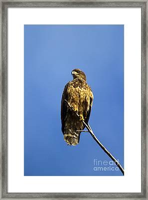 Juvenile Perch Framed Print by Mike  Dawson