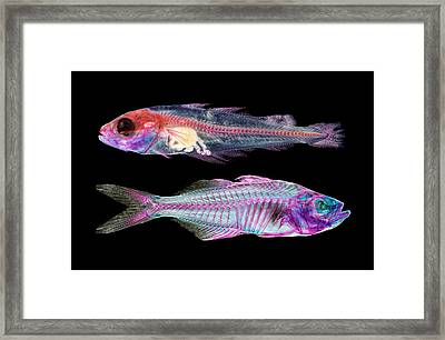 Juvenile Pollack And Indian Glass Perch Framed Print by Natural History Museum, London