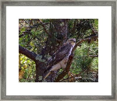Juvenile Red-tailed Hawk Framed Print by CapeScapes Fine Art Photography