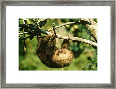 Juvenile Two-toed Sloth Framed Print by Gregory G. Dimijian, M.D.